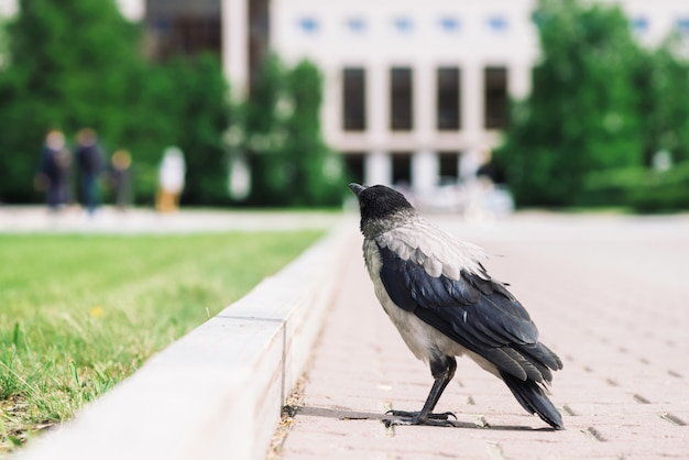 Corneille noire se promène sur la frontière près du trottoir gris sur la construction de la ville en bokeh avec fond. corbeau sur le trottoir près de l'herbe verte. oiseau sauvage sur l'asphalte se bouchent. prédateur de la ville.