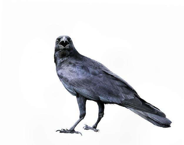 Corps entier de corbeau de plumes noires