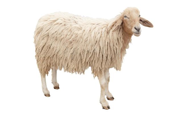 Le corps entier de mouton debout isolé sur fond blanc avec un tracé de détourage.