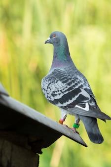 Corps entier d'oiseau de pigeon de courses de vitesse avec motif de plume de chèque permanent sur fond flou vert
