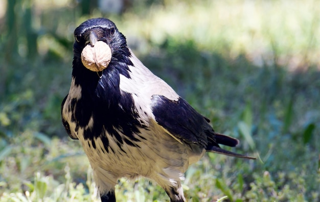 Corvus corone oiseau avec noix