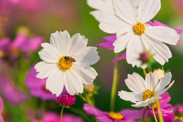 Cosmos blanc fleurit dans le jardin