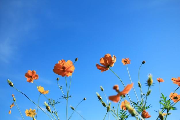 Cosmos et ciel bleu