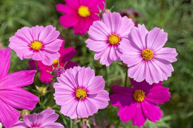 Cosmos ou fleur d'aster mexicain dans le jardin