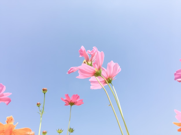 Cosmos fleurs de beauté
