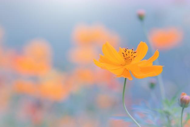 Cosmos fleurs jaunes dans le jardin. ton vintage. mise au point sélective.