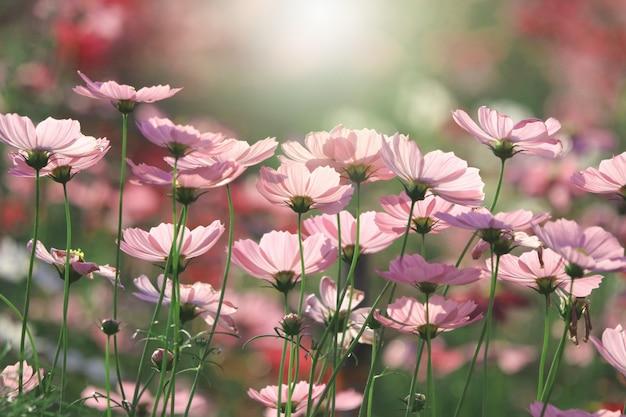 Cosmos fleurs roses belles dans la nature avec flare image close up dans le domaine