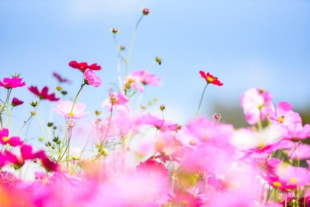 Cosmos de fleurs roses colorées dans le jardin sur fond de ciel bleu frais - belle fleur de cosmos dans la nature