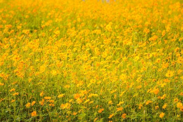 Le cosmos jaune fleurit dans le jardin