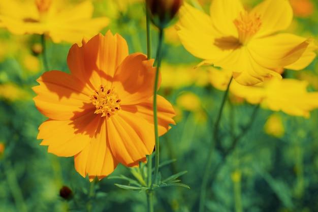 Cosmos orange au soleil.
