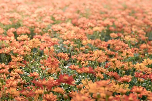 Cosmos orange vif fleurs dans le jardin