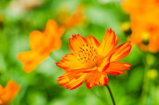 Cosmos orange.