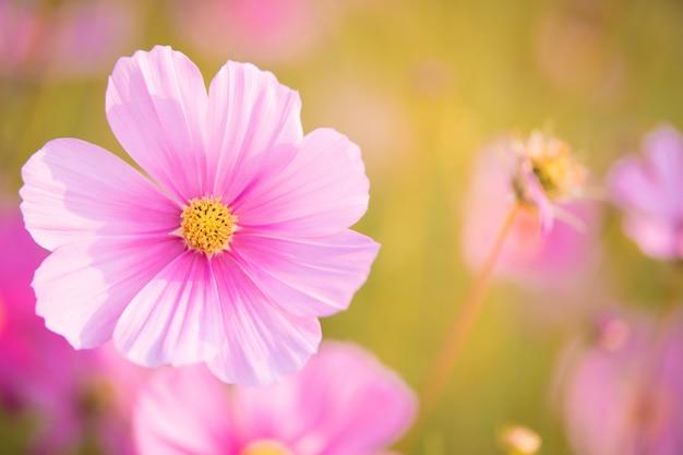 Le cosmos rose fleurit dans le jardin est magnifique