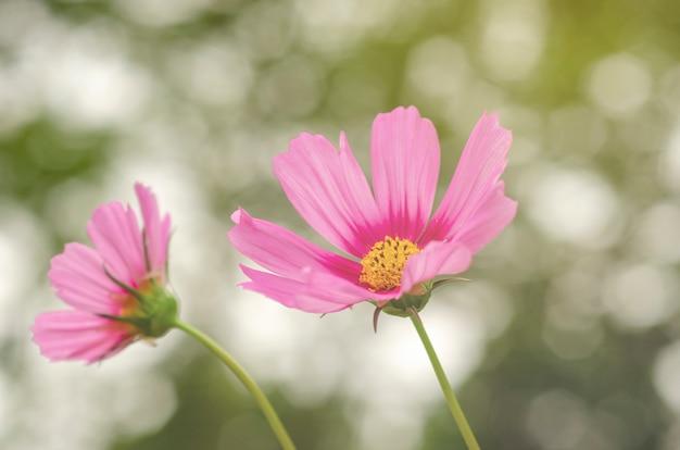 Cosmos rose avec fond flou