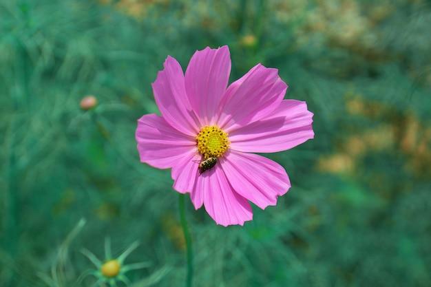 Cosmos rose en gros plan avec un petit insecte mangeant du pollen jaune sur fond de bokeh de jardin vert