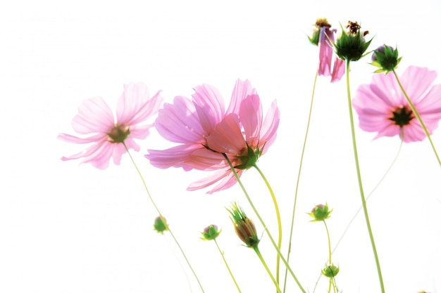 Cosmos rose isolé ..