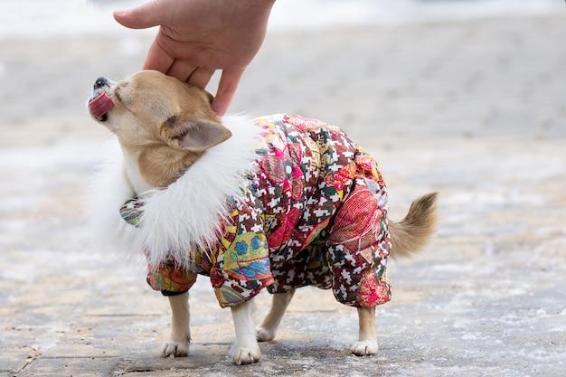 Costume chihuahua en hiver