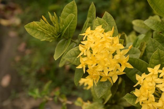 Côté droit de la fleur jaune ixora