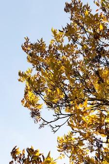 Un côté d'un frêne avec un feuillage jauni et des graines sèches contre un ciel bleu, un temps d'automne avec la lumière du soleil, quelques graines de frêne et emporté par le vent