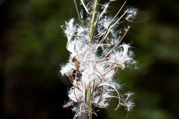 Coton comme plante avec des graines qui s'envolent sur un fond vert