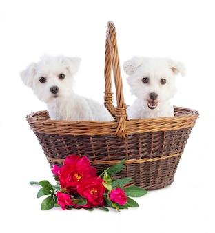 Coton de tulear et bichon maltais dans un panier de fleurs