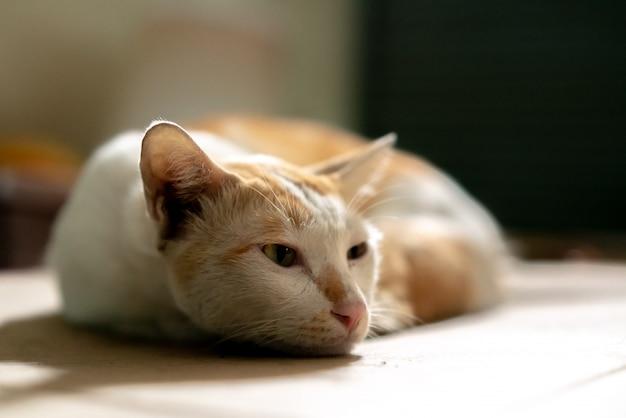 Couchant un chat thaïlandais brun et blanc sur du papier carton avec un arrière-plan flou.