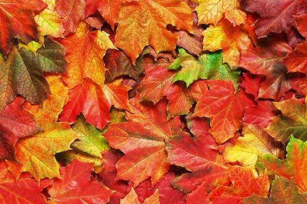 Couche de feuilles d'automne lumineux d'érable