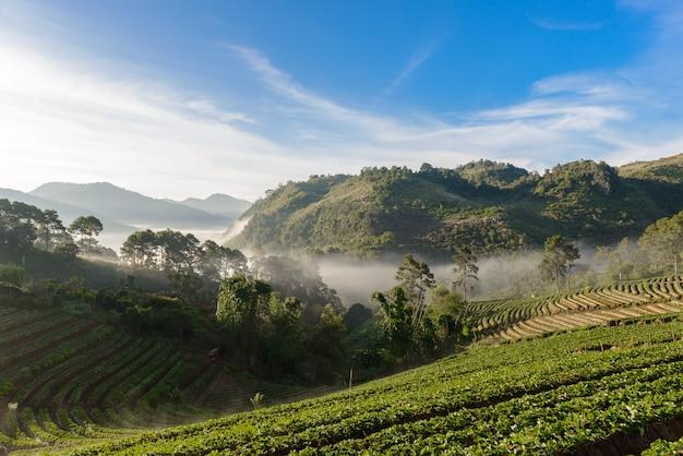 Couche de tableau de ferme de fraises sur la colline de la montagne doi angkhang, chiangmai, thaïlande