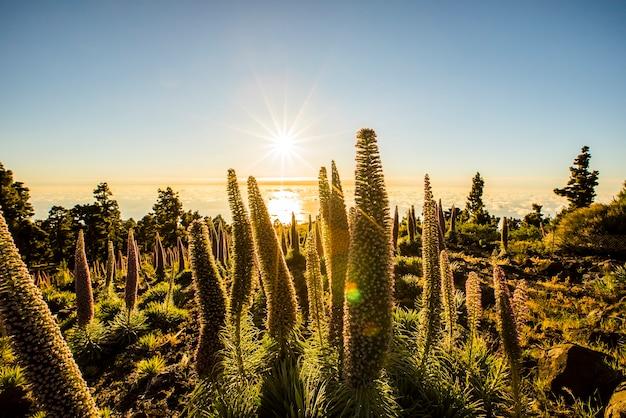 Coucher du soleil entre tajinastes dans le parc naturel de la caldera de taburiente, l'île de la palma, canary islands, spain