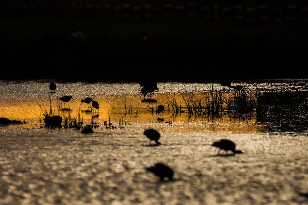 Coucher du soleil et oiseaux dans la réserve naturelle d'aiguamolls de l'emporda, espagne.