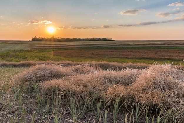 Coucher de soleil sur une bande de champ de canola à la récolte près de swift current, saskatchewan, canada