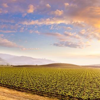 Coucher de soleil sur le champ de vigne en californie aux états-unis