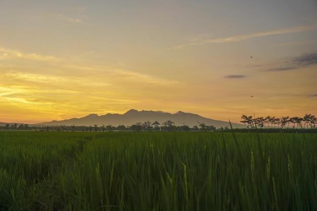Coucher de soleil dans le champ de riz vert