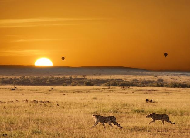 Coucher de soleil avec des guépards