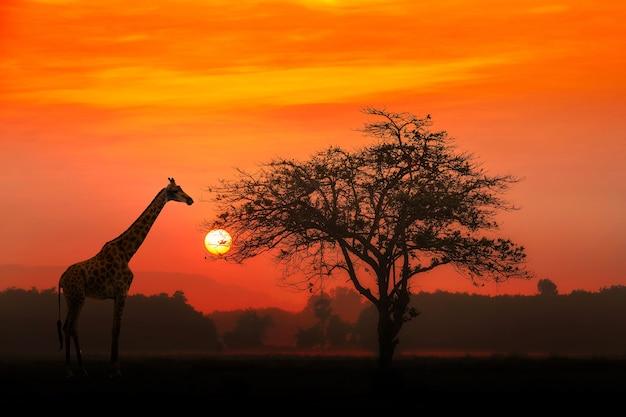 Coucher de soleil rouge avec un arbre africain acacia silhouetté et une girafe.