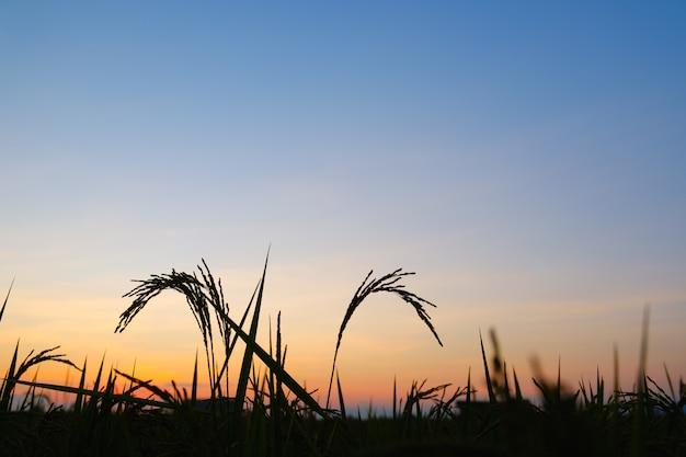 Coucher de soleil silhouette riz ou lever du soleil avec copie espace
