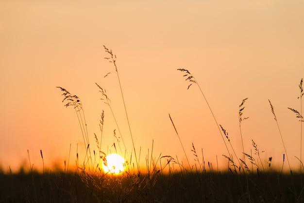 Coucher de soleil à travers l'herbe des prés.