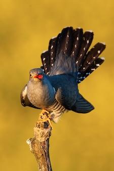 Coucou commun affichant ses plumes caudales et chantant en été au coucher du soleil