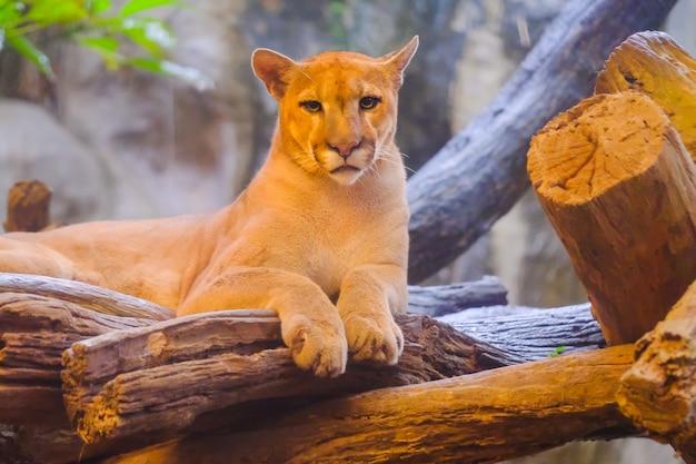 Cougar femelle adulte (puma concolor) regarde à partir de branches de bouleau - animal captif