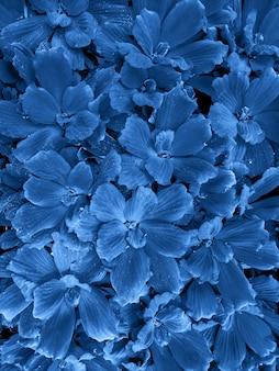 Couleur 2020 de l'année pantone classic blue. feuilles de nénuphar funkia avec des gouttes de rosée.