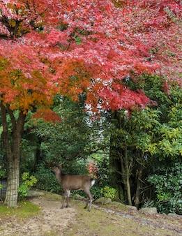 Couleur d'automne d'érable japonais laisse avec le cerf