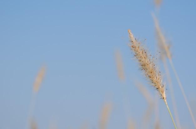 Couleur blanche mission grass flower avec ciel bleu.