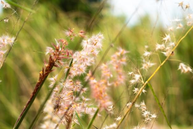 Couleur du champ d'herbe en thaïlande