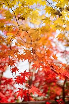 Couleur des feuilles d'érable en automne.