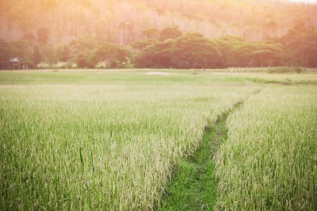 Couleur nature vintage couleur chaude. été de champ de riz en thaïlande.