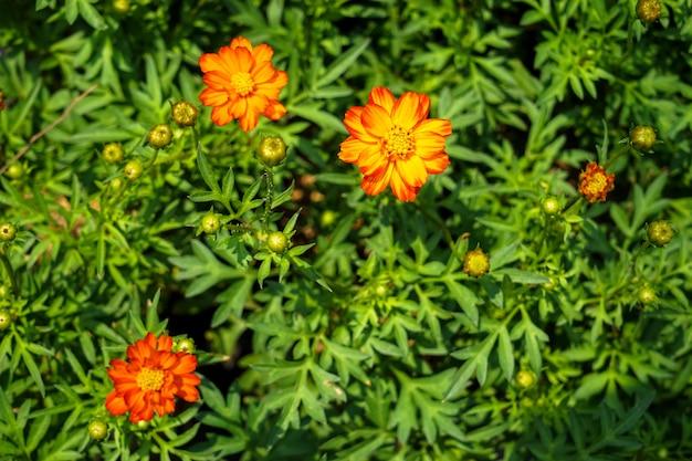 Couleur orange et jaune floraison cosmos sulphureus parmi les feuilles vertes fond
