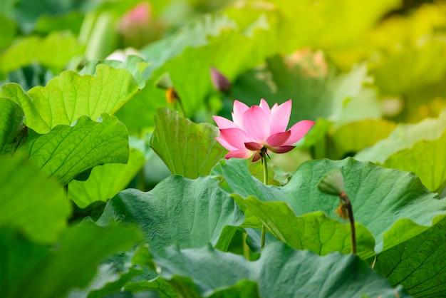 Couleur rose lotus floraison dans l'étang de lotus.