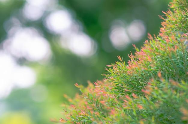 Couleur verte et rouge honey myrtle