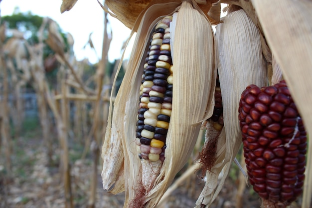 Couleurs de maïs