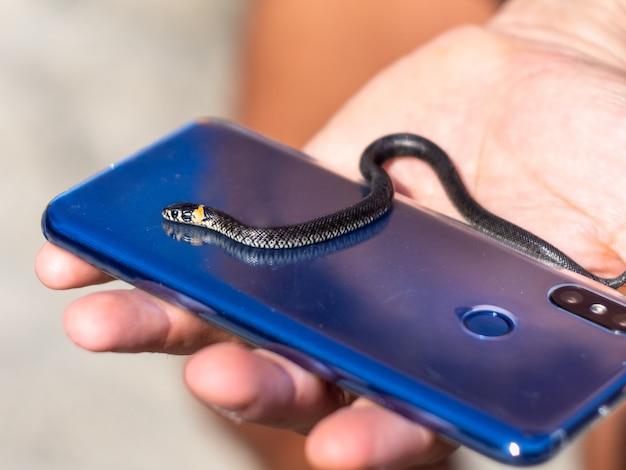 Couleuvre à collier dans la main masculine sur le téléphone, gros plan.